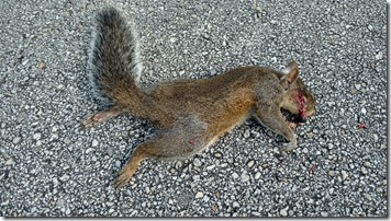 squashed squirrel